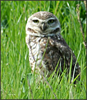Mission College burrowing owl