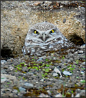 Mission College burrowing owl in burrow